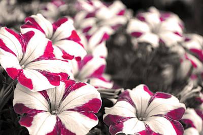 Floral Photograph - Magenta Flowers by Sumit Mehndiratta