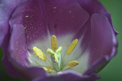 Spring Bulbs Photograph - Magenta Magic by Teresa Mucha