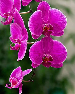 Magenta Orchid Medley Art Print by Anna Rumiantseva