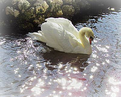 Photograph - Magic Swan by Judy Wanamaker