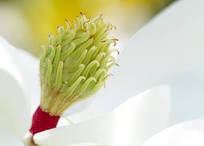 Photograph - Magnificant Magnolia Macro  by Sabrina L Ryan