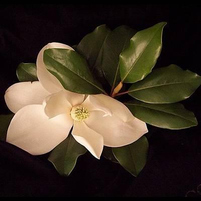 Background Photograph - Magnolia 2 by Darice Machel McGuire