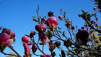 Magnolia Blloming Art Print by Tanya  Searcy