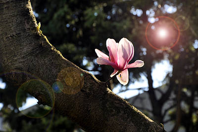 Photograph - Magnolia Bloom by Andrew Dinh