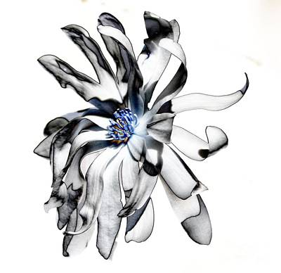 Magnolia Bloom Art Print by Mark McReynolds