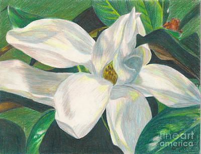 Magnolia Flower Drawing - Magnolia Blossom by C L Swanner