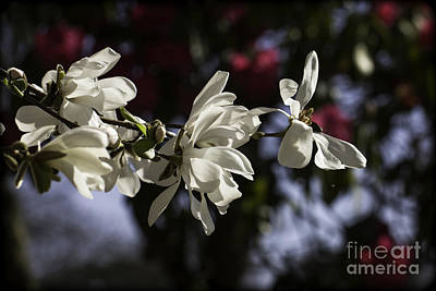 Photograph - Magnolia Blossoms. by Clare Bambers