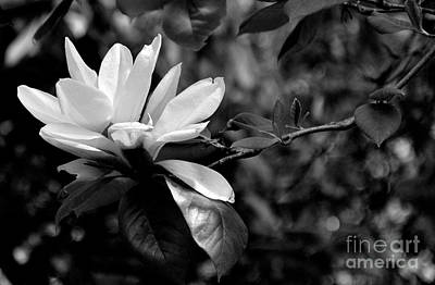 Leaves Photograph - Magnolia Flower In Black And White by Tanya  Searcy