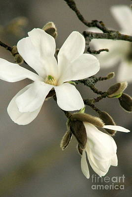 Magnolia Art Print by Frank Townsley