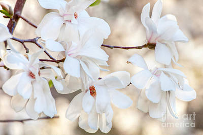 Art Print featuring the photograph Magnolia Spring by Susan Cole Kelly