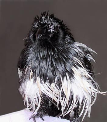 Magpie After A Bath Art Print by Lynne Dymond