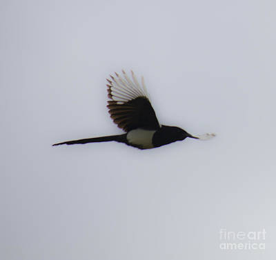 Photograph - Magpie In Flight by Donna L Munro