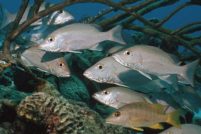 Mahogany Snappers Art Print by Georgette Douwma