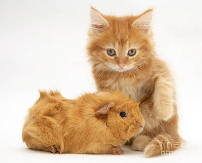 Cavy Photograph - Maine Coon Kitten And Guinea Pig by Jane Burton