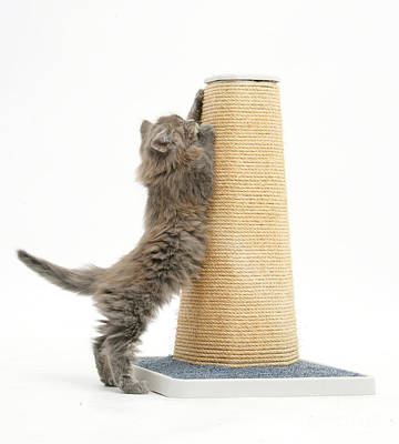 Of Cats Photograph - Maine Coon Kitten Using Scratch Post by Mark Taylor