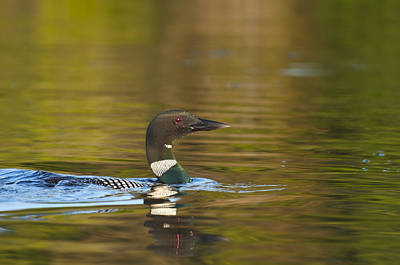 Photograph - Maine Loon 6 by Glenn Gordon