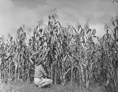 Maize Farming Art Print by Bert Hardy