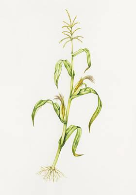 Maize (zea Mays) Art Print by Lizzie Harper