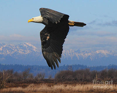 Photograph - Majestic Bald Eagle by Jack Moskovita