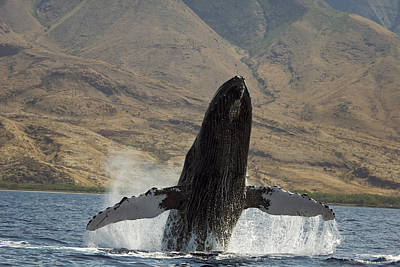 Majestic Breaching Whale Art Print by Dave Fleetham