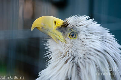 Photograph - Majestic Eagle by John Burns