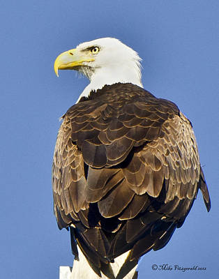 Photograph - Majestic Eagle by Mike Fitzgerald