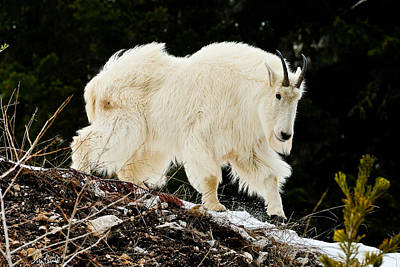 Photograph - Majestic Mountain Goat Le by Greg Norrell