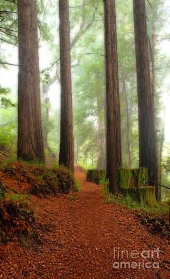 Majestic Redwood Sentinels Art Print