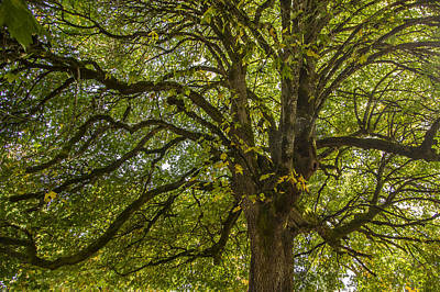 Photograph - Majestic Tree by Jean Noren