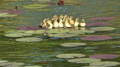 Art Print featuring the photograph Make Way For Ducklings by Mary Zeman
