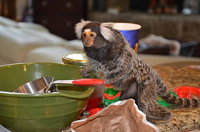 Making Cookies Chewy The Marmoset Art Print by Barry R Jones Jr