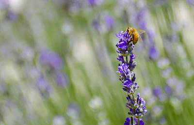 Photograph - Making Lavender Honey by Loree Johnson