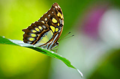 Pause Photograph - Malachite Butterfly Close Up In Rainforest by Brandon Bourdages