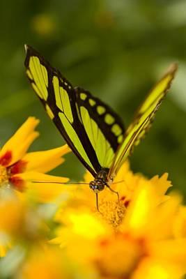 Malachite Butterfly On Flower Art Print by Craig Tuttle