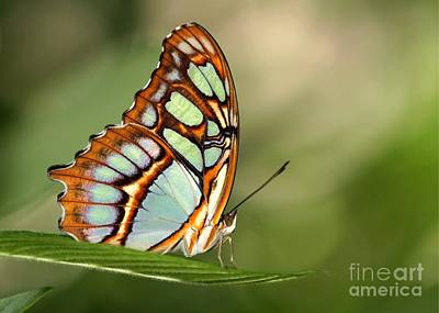 Malachite Butterfly Art Print