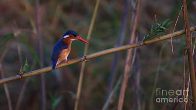 Photograph - Malachite Kingfisher by Mareko Marciniak