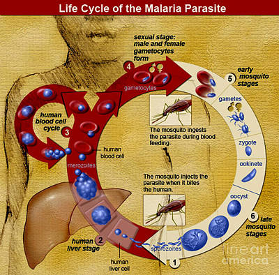 Malaria Parasite Life Cycle Art Print by Science Source