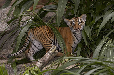 Photograph - Malayan Tiger Panthera Tigris Jacksoni by San Diego Zoo