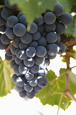 Malbec Grapes On The Vine Art Print by Peter Langer