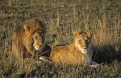 Simba Photograph - Male And Female Lion In Grass Masai by Lizzie Shepherd