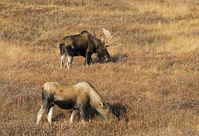 Male And Female Moose Alces Alces In Art Print by Philippe Widling