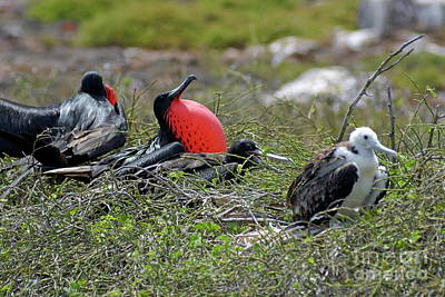 Male And Juvenile Great Frigate Bird Art Print by Sami Sarkis