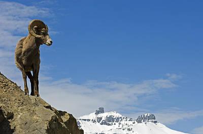 Male Bighorn Sheep On A Mountainside Art Print