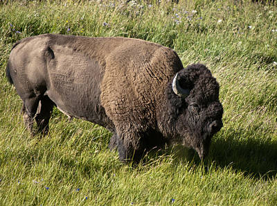 Male Bison Grazing  Art Print by Paul Cannon