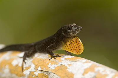 Brown Anole Photograph - Male Brown Anole Norops Sagrei by Tim Laman