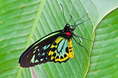 Male Cairns-birdwing Butterfly Art Print