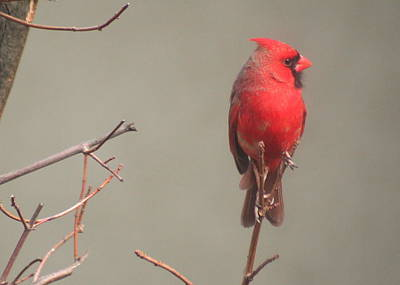 Print featuring the photograph Male Cardinal On A Branch by Laurel Talabere