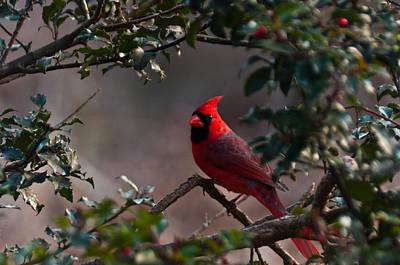 Male Cardinal Art Print by Ron Smith