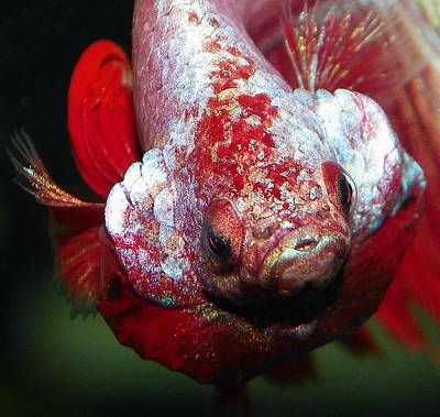Male Double Tail Betta Fish Art Print