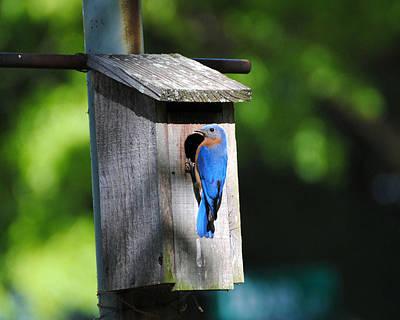 Photograph - Male Eastern Bluebird by Jai Johnson